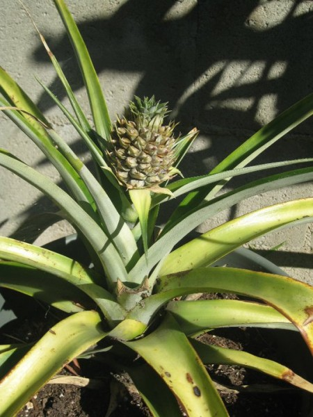 pineapple grown from top