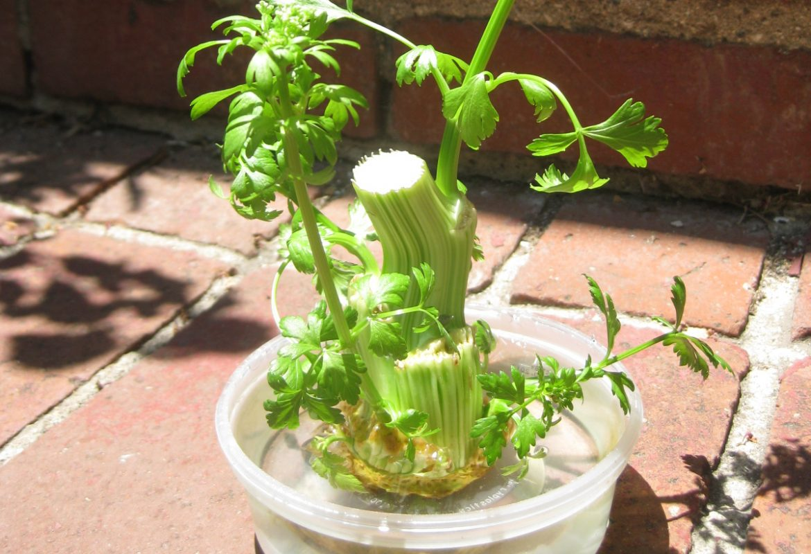 home grown celery