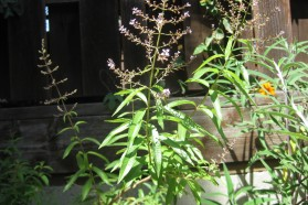Lemon Verbena with Flowers